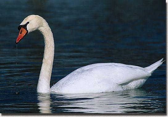 Free sheet music : Saint-Saens, Camille - The swan (The